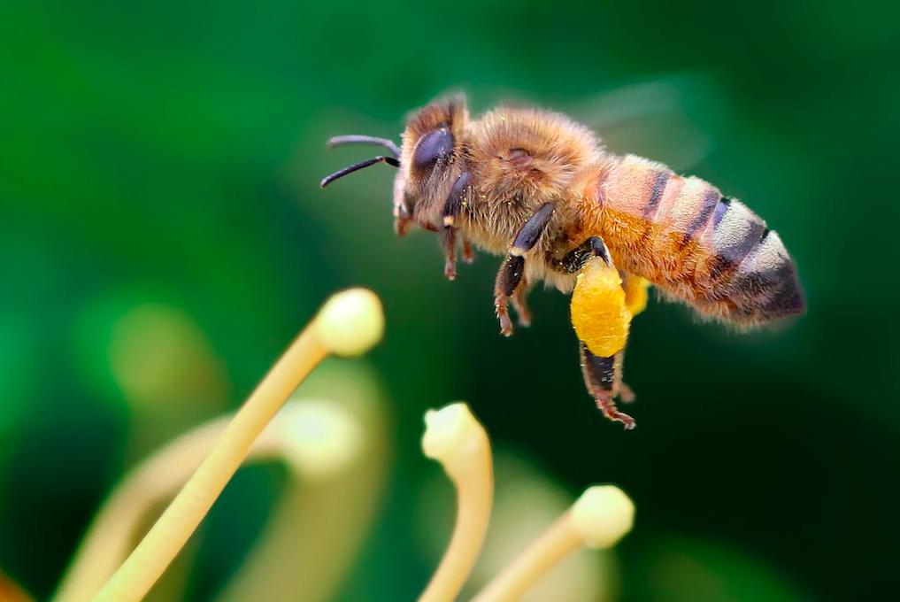 Порода пчелы итальянская