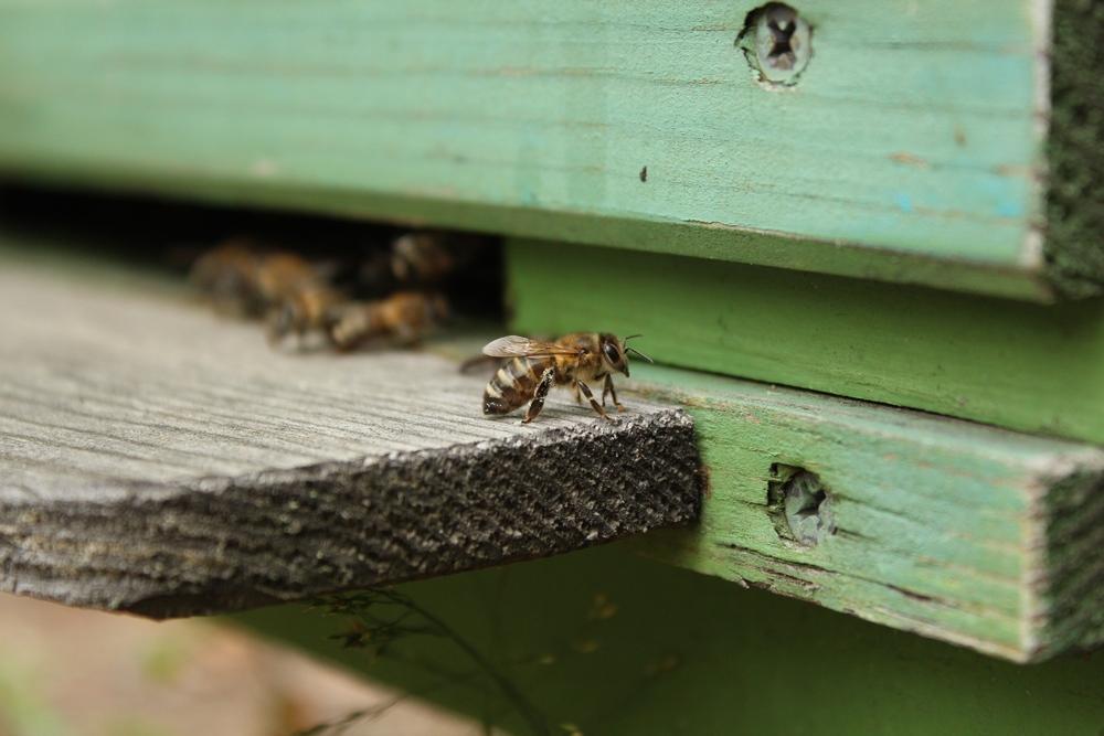 Среднерусская пчела внешний вид